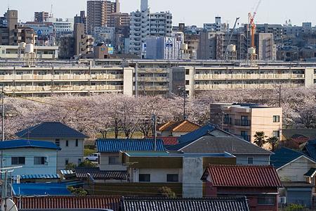 近所の桜1-9