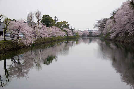 彦根城桜-1
