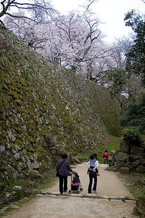 彦根城桜-10