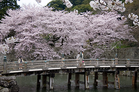 彦根城桜-13