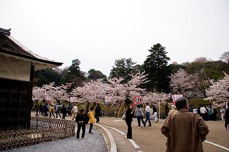 彦根城桜-5