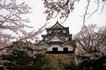 彦根城桜-8