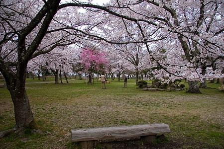 彦根城桜-9