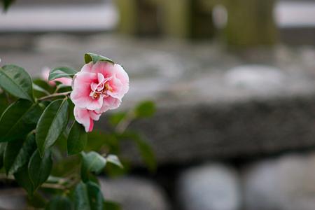 足助の花-8