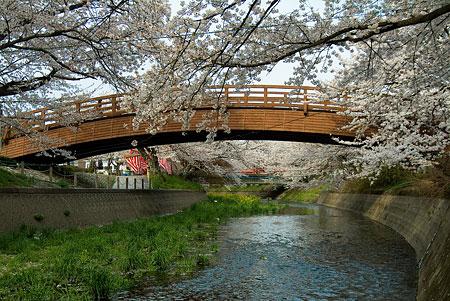 五条川桜1-1