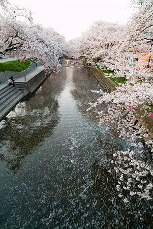五条川桜1-10