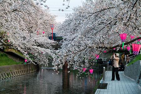 五条川桜1-11
