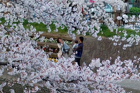 五条川桜1-12