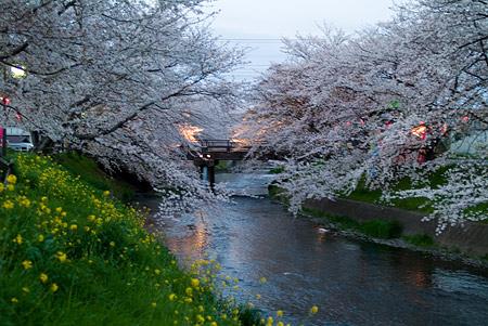 五条川桜1-13