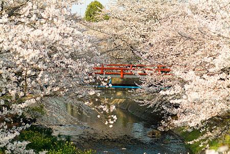 五条川桜1-2