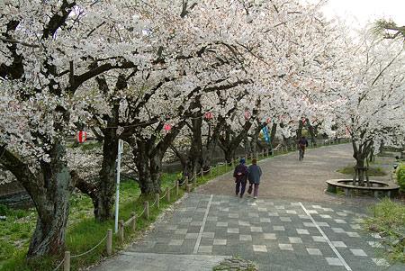 五条川桜1-4