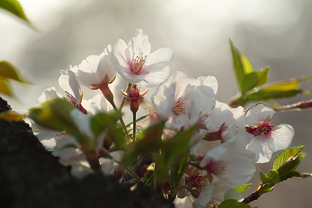 五条川桜1-5