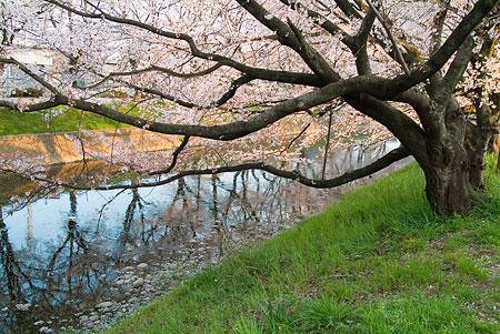 五条川桜1-6