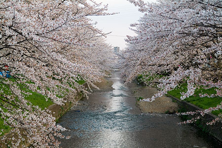五条川桜1-7