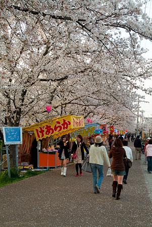 五条川桜1-8
