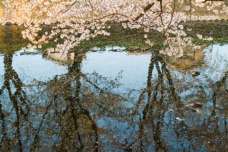 五条川桜1-9