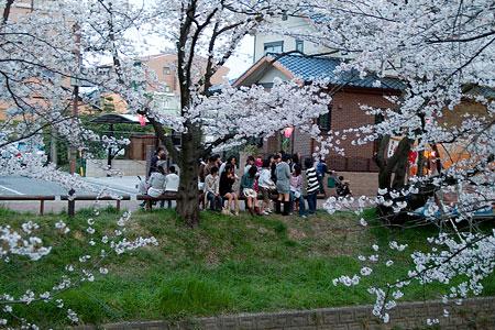 五条川桜2-11
