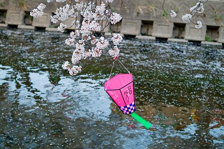 五条川桜2-12