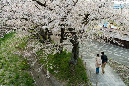 五条川桜2-3
