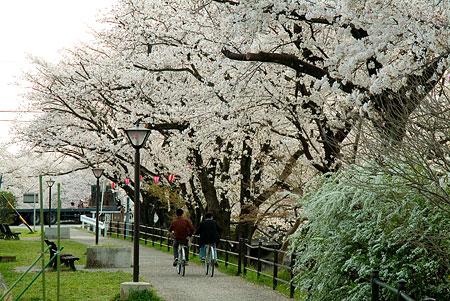 五条川桜2-4