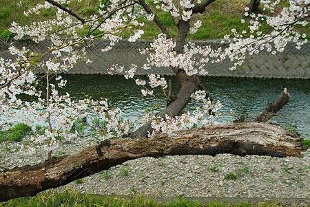 五条川桜2-5
