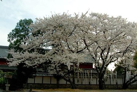 五条川桜2-7