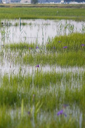 小堤西池カキツバタ-10