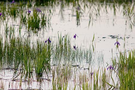 小堤西池カキツバタ-11