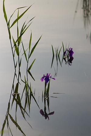 小堤西池カキツバタ-12