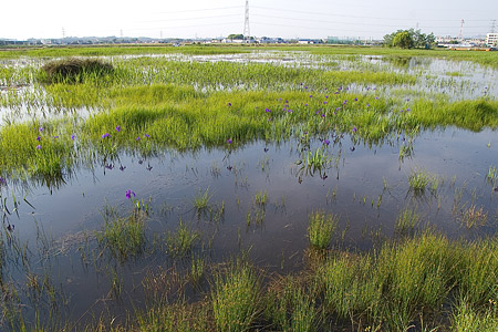 小堤西池カキツバタ-2