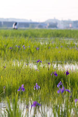 小堤西池風景-4