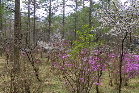 富士桜-1