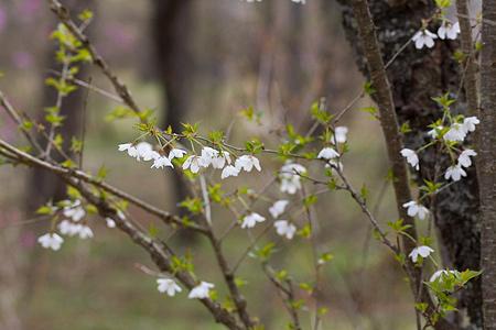 富士桜-6