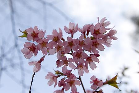 富士桜-7