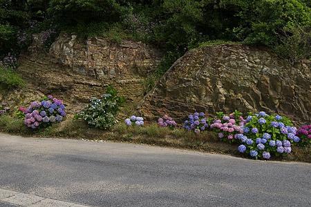 岩場に咲くアジサイ