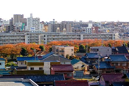 紅葉の桜並木