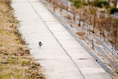 散歩中のハクセキレイ