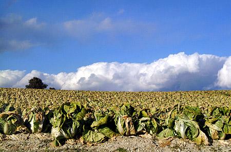 白菜畑と水色の空