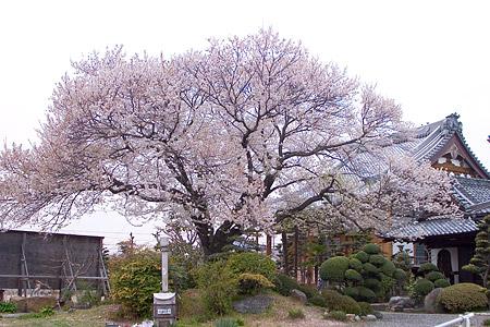 覚成寺の江戸彼岸桜