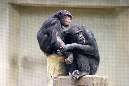 チンパンジー親子