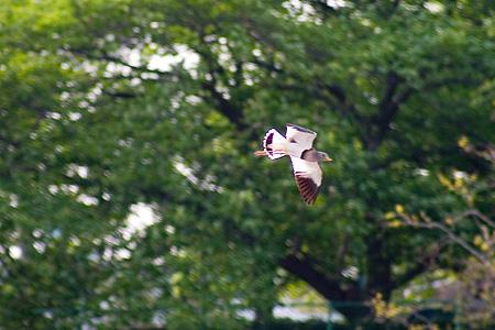 飛ぶ姿はきれいなケリ