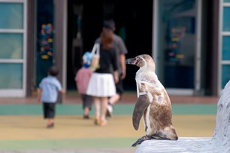 フンボルトペンギンと一家
