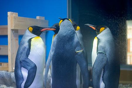 キングペンギンの円陣