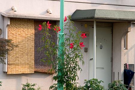 住宅前のモミジアオイ