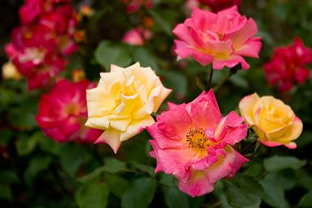 旧古河庭園のバラ-1