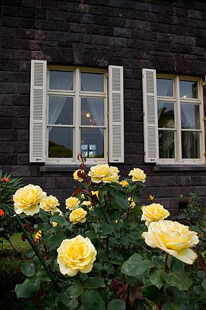 旧古河庭園のバラ-2