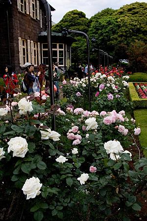 旧古河庭園のバラ-3