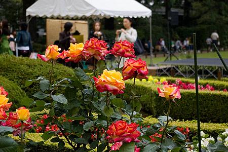 旧古河庭園のバラ-4