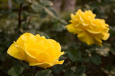 旧古河庭園のバラ-5