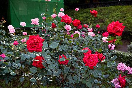 旧古河庭園のバラ-6